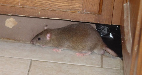 Rat Infestation Problems