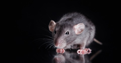 Rodent Pest Control & Removal in Carlisle: Call Carlisle City Control
