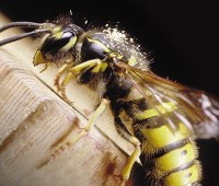 Wasp Control and Removal in Carlisle, Cumbria