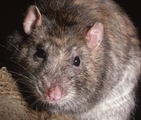 Rat Control in Carlisle, Cumbria